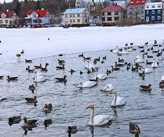 Estanque de patos en Reikjiavik